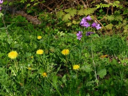 Löwenzahn auf der Wiese (c) FRank Koebsch (2)