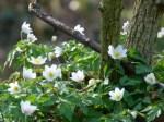 Mit den Buschwindröschen erwacht der Frühling (c) Frank Koebsch (2)