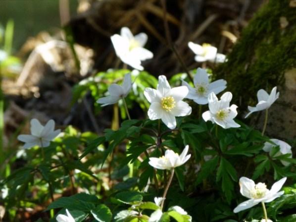 Mit den Buschwindröschen erwacht der Frühling (c) Frank Koebsch (4)