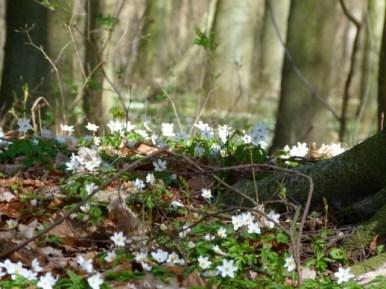 Mit den Buschwindröschen erwacht der Frühling (c) Frank Koebsch (5)