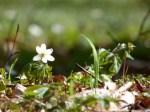 Mit den Buschwindröschen erwacht der Frühling (c) Frank Koebsch (6)
