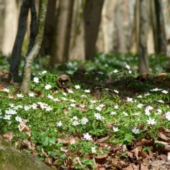 Mit den Buschwindröschen erwacht der Frühling (c) Frank Koebsch (7)