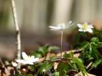 Mit den Buschwindröschen erwacht der Frühling (c) Frank Koebsch (8)