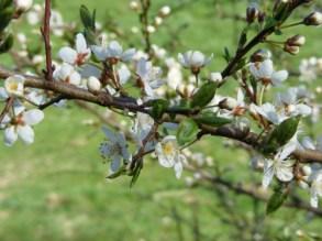 Obstblüte (c) FRank Koebsch (1)