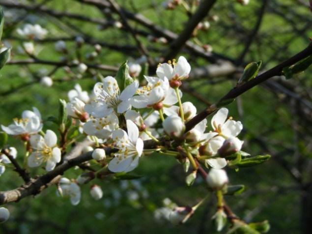 Obstblüte (c) FRank Koebsch (2)