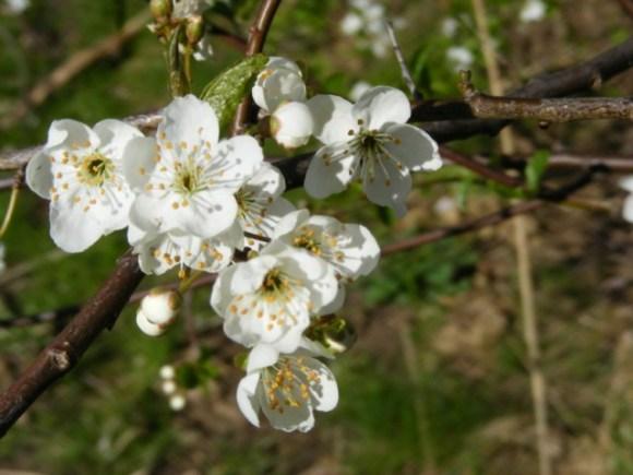 Obstblüte (c) FRank Koebsch (3)