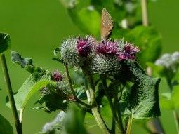 Distelblüten mit Schmetterling (c) Frank Koebsch