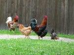 Hähne und Hühner auf dem Berthof (c) FRank Koebsch