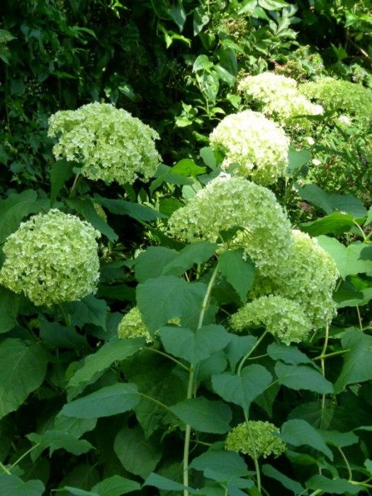 Hortensien Im Schatten hortensien mit licht und schatten c frank koebsch 1 bilder
