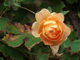 Rosen im Herbst (c) Frank Koebsch (2)