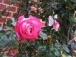 Rosen im Herbst (c) Frank Koebsch (3)