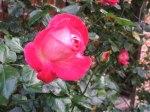 Rosen im Herbst (c) Frank Koebsch (4)