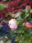 Rosen im Herbst (c) Frank Koebsch (5)