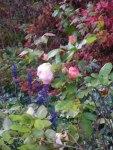 Rosen im Herbst (c) Frank Koebsch (6)