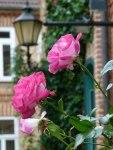Rosen im Herbst (c) Frank Koebsch (7)