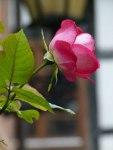 Rosen im Herbst (c) Frank Koebsch (8)