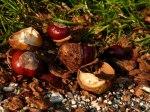 Kastanien in der Herbstsonne (c) Frank Koebsch (1)