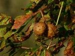Kastanien in der Herbstsonne (c) Frank Koebsch (2)