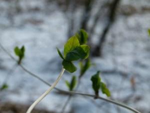 Bilder vom Frühling - Das erste Grün an den Bäumen (c) FRank Koebsch