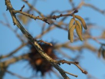 Bilder vom Frühling - Die Hasel blühen (c) Frank Koebsch