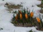 Bilder vom Frühling - Krokusse (c) FRank Koebsch