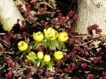 Bilder vom Frühling - Winterlinge (c) FRank Koebsch