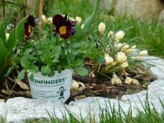 Stiefmütterchen in unserem Garten (c) Frank Koebsch (1)