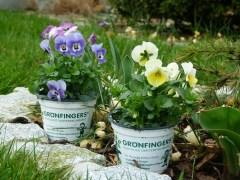 Stiefmütterchen in unserem Garten (c) Frank Koebsch (2)
