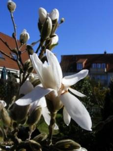 Die ersten Magnolien (c) Frank Koebsch (1)