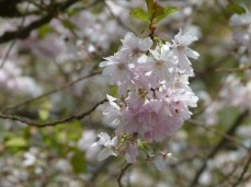 Kirschblüten (c) Frank Koebsch (2)