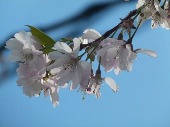 Kirschblüten (c) Frank Koebsch (4)
