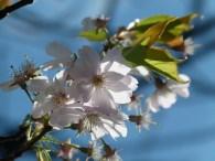 Kirschblüten (c) Frank Koebsch (5)