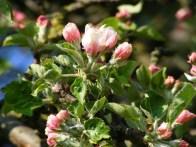 Apfelblüte (c) Frank Koebsch (2)