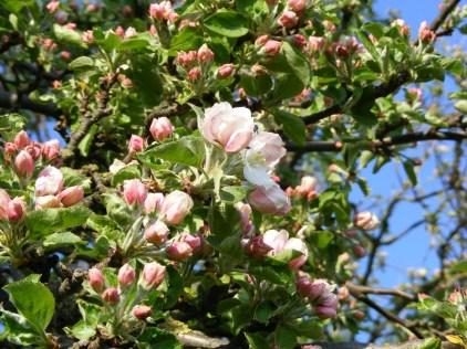 Apfelblüte (c) Frank Koebsch (3)