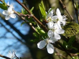 Obstblüten (c) Frank Koebsch