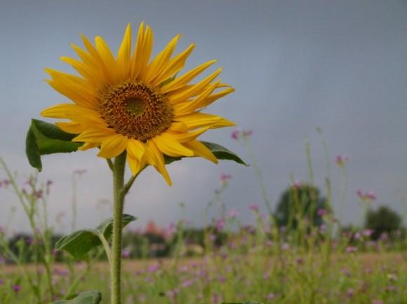 Sonnenblume am Feldrand (c) Aquarell