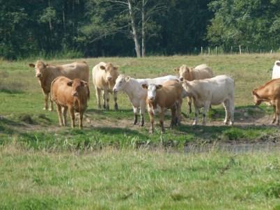 Satte Rinder im Spätsommer (c) Frank Koebsch