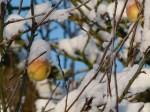 Äpfel im Schnee (c) Frank Koebsch