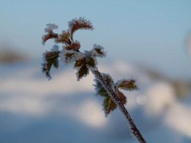 Der Frost verzaubert die Pflanzen (c) Frank Koebsch 2