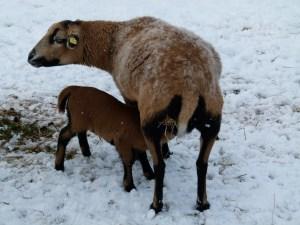 Frühlingsbote - Das erste Lamm im Jahr (c) Frank Koebsch