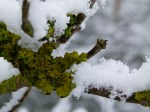 Holunder im Schnee (c) Frank Koebsch