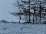 Kraniche auf den Mais Feldern bei Sanitz (c) Frank Koebsch (2)
