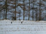 Kraniche auf den Mais Feldern bei Sanitz (c) Frank Koebsch (3)