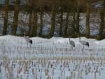 Kraniche auf den Mais Feldern bei Sanitz (c) Frank Koebsch (4)