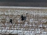 Kraniche im Schnee (c) Frank Koebsch (1)