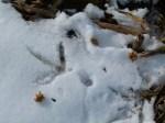 Kranichspuren im Schnee eines Maisfeldes (c) Frank Koebsch