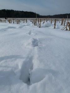 Spuren der Kraniche im Schnee (c) Frank Koebsch