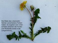 Löwenzahn (c) Frank Koebsch