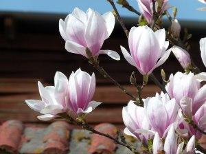 Magnolienblüten in Rosa (c) Frank Koebsch
