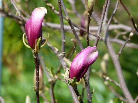 Magnolienblüten in Rot (c) Frank Koebsch